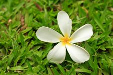 Free Tropical Flower On Green Grass Stock Photo - 15758870