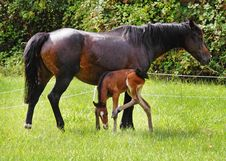 Bay Horse With Her Foal Royalty Free Stock Image