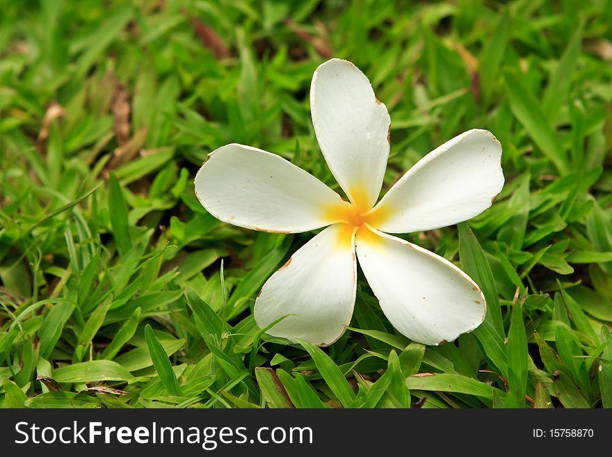 Tropical flower on green grass