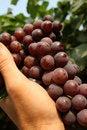 Free Picking Grape Royalty Free Stock Image - 15762096