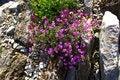 Free Viola Carzolensis Royalty Free Stock Photos - 15767478