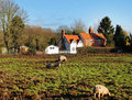 Free Pigs And Piglets In A Field In Early Winter Royalty Free Stock Photography - 15768807