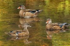 Free Three Wood Ducks Stock Photo - 15760650