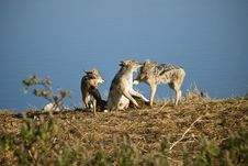 Free Black-backed Jackals Stock Image - 15762671