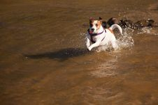 Free Playful Jack Russell Terrier Dog Playing In Water Stock Photos - 15764093