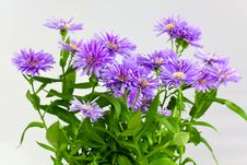 Purple Bouquet Of Asters ,a Close Up Shot Stock Image