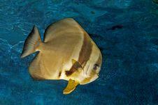 Free Platax Or Batfish Stock Photography - 15766202
