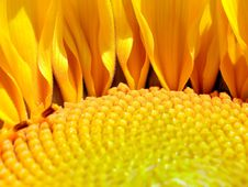 Free Sunflower. Royalty Free Stock Images - 15766599