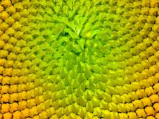 Free Sunflower Texture. Stock Image - 15766601