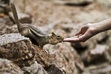 Free Chipmunk Royalty Free Stock Photo - 15767415