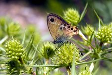 Free Brown Eye Butterfly Stock Photography - 15768102