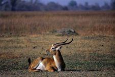 Free Lechwe &x28;kobus Leche&x29; Royalty Free Stock Photography - 15769107