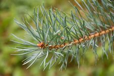 Free Pine Tree Branch Royalty Free Stock Images - 15769479