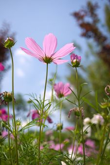Free Cosmos In Summer Stock Images - 15769964