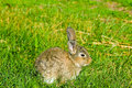 Free Grey Rabbit On Green Grass Royalty Free Stock Photos - 15779208