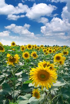 Free Big Meadow Of Sunflowers Stock Photography - 15770042