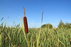 Free Red Bulrush Stock Photo - 15770070