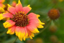 Free Daisy In Orange 4 Stock Image - 15770521