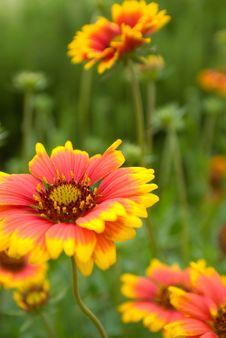 Free Daisy In Orange 5 Stock Photography - 15770542