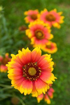 Free Daisy In Orange 6 Royalty Free Stock Photos - 15770558