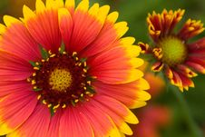 Free Daisy In Orange 8 Royalty Free Stock Image - 15770596