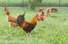 Free Rooster With Flock Stock Image - 15771181
