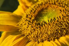 Free Close-up Of Sunflower Stock Photo - 15771230