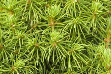 Free Young Pine Close-up Royalty Free Stock Photos - 15771668