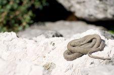 Free Coiled Snake. Royalty Free Stock Image - 15774206