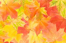 Free Autumn Maple Leaves Stock Photos - 15775233