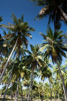Free Coconut Trees And The Blue Sky Royalty Free Stock Image - 15775346