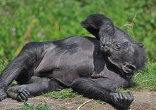 Free Chimpanzee At Dublin Zoo Stock Photography - 15775572