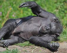 Free Chimpanzee At Dublin Zoo Stock Images - 15775584