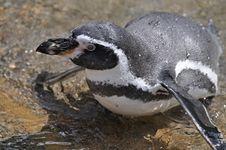 Magellanic Penguin At Dublin Zoo Royalty Free Stock Image