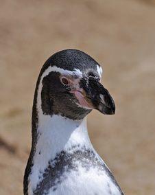 Magellanic Penguin At Dublin Zoo Stock Image