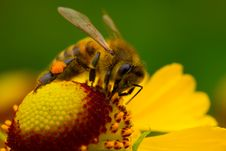 Free Bee On Yellow Flower Royalty Free Stock Photos - 15775998