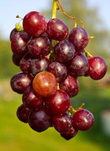 Free Branch Of Red Ripe Grapes Stock Photos - 15776143