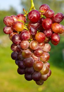 Free Branch Of Ripe Grapes Stock Photography - 15776272