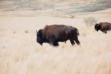 Free Bison On Dry Prairie Stock Photography - 15777362