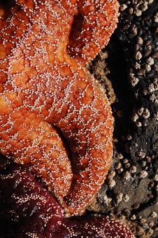 Giant Orange Starfish Royalty Free Stock Image