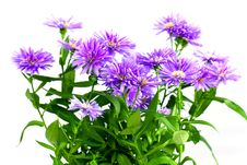 Purple Bouquet Of Asters ,a Close Up Shot Royalty Free Stock Image