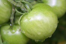 Free Green Tomato Stock Photo - 15778000