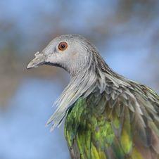 Free Pigeon Portrait. Stock Photos - 15778163
