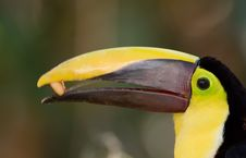 Free Toucan Eating. Royalty Free Stock Images - 15778199