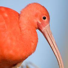Free Scarlet Ibis, Profile. Stock Image - 15778221