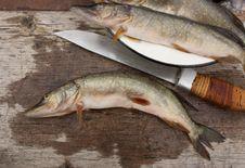 Free Predatory River Fish Stock Photography - 15778862