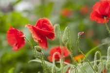 Free Wild Poppies Stock Photography - 15778952
