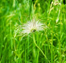 Dandelion In Green Background Royalty Free Stock Photo