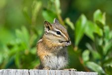 Free Chipmunk Royalty Free Stock Photography - 15779447