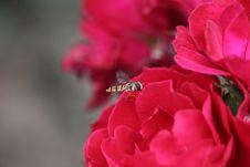 Free Bee Royalty Free Stock Photos - 15779558